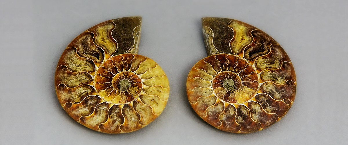 Ammonit, Ammonshorn, Madagaskar